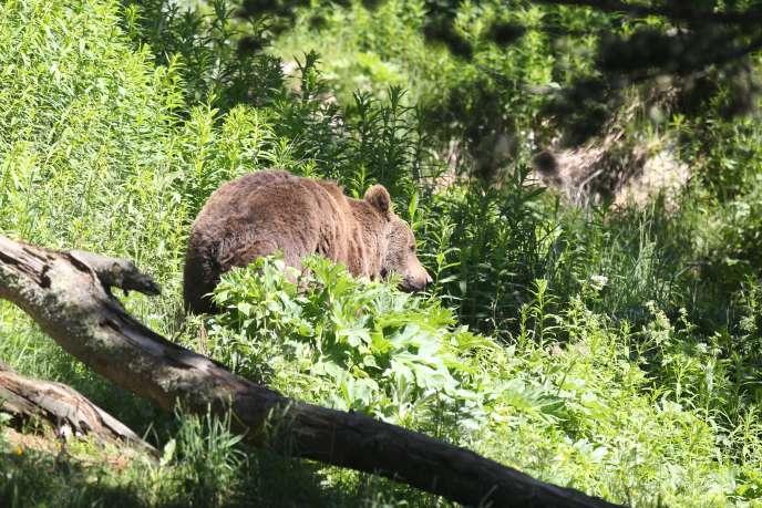 La population d'ours dans le massif pyrénéen est estimée actuellement à au moins une quarantaine de spécimens.