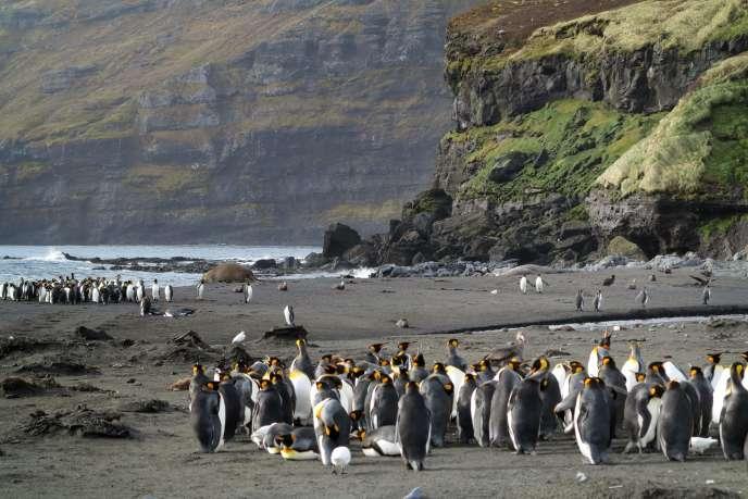 Des manchots royaux dans l'archipel Crozet, enaoût2012.