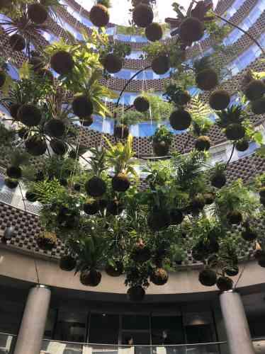 Ces boules d'argile recouvertes de mousse où poussent différentes plantes forment un lustre végétal qui incite à lever la tête dans ce lieu passant et à la minéralité imposante.