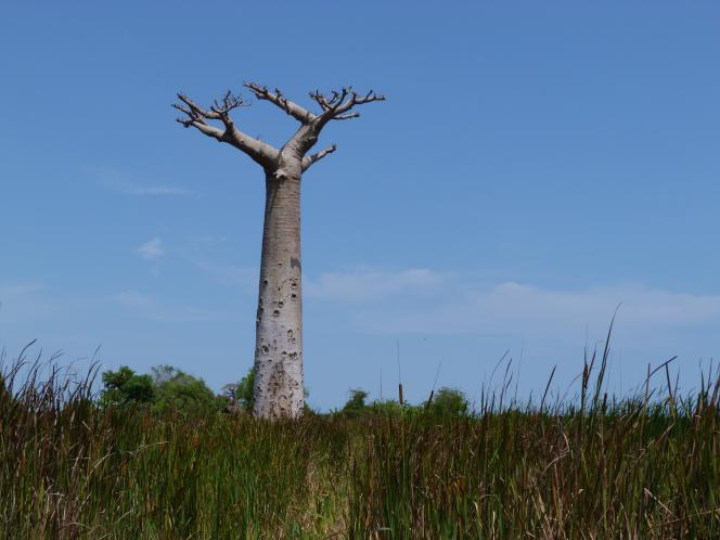 Un baobab près de Morondava, à Madagascar, en 2011.
