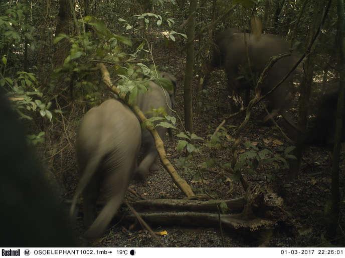 Eléphants dans la forêt d'Omo, aux abord de Lagos, la capitale économique du Nigeria.