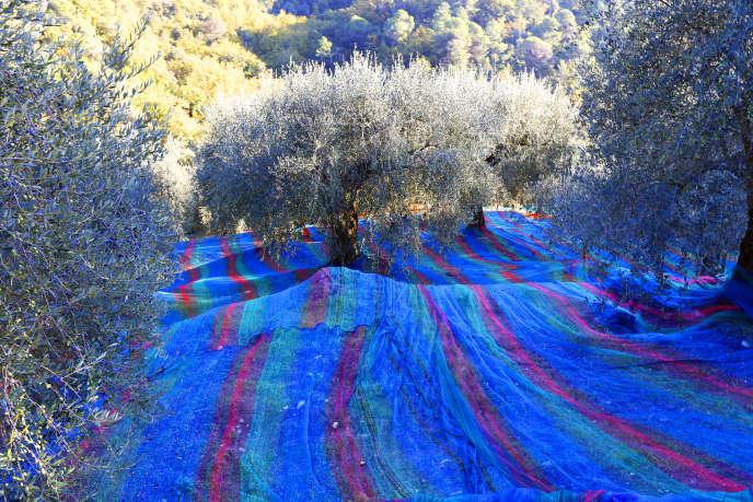 Une oliveraie à Castagniers, dans les Alpes-Maritimes, en 2013.