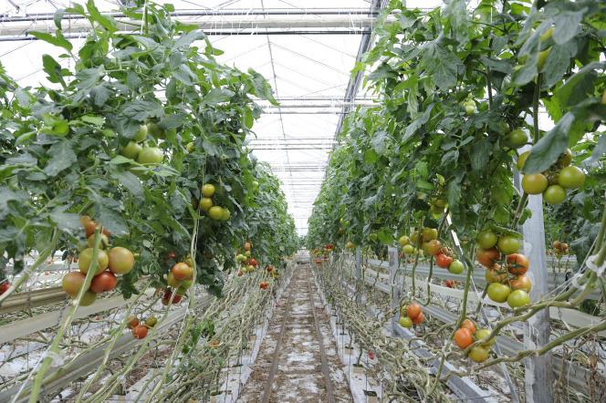 «Faut-il au contraire cultiver sa cohérence écologique afin qu'elle reste pionnière pour l'ensemble de notre agriculture et participe à l'éducation d'une société plus respectueuse des saisons et de la nature?» Photo tomates sous serres dans le Vaucluse.