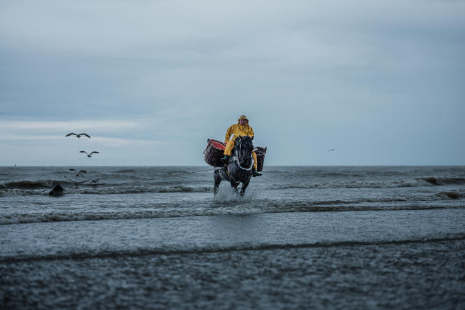 La traditionnelle pêche aux crevettes à cheval, sur la plage de Saint-André, en Flandre-Occidentale.