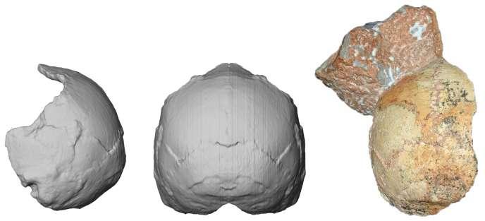 A droite, crâne partiel du fossile grec Apidima 1, et sa reconstitution vue de derrière (milieu) et de côté (à droite), montrant une forme arrondie typique de notre espèce, «Homo sapiens».