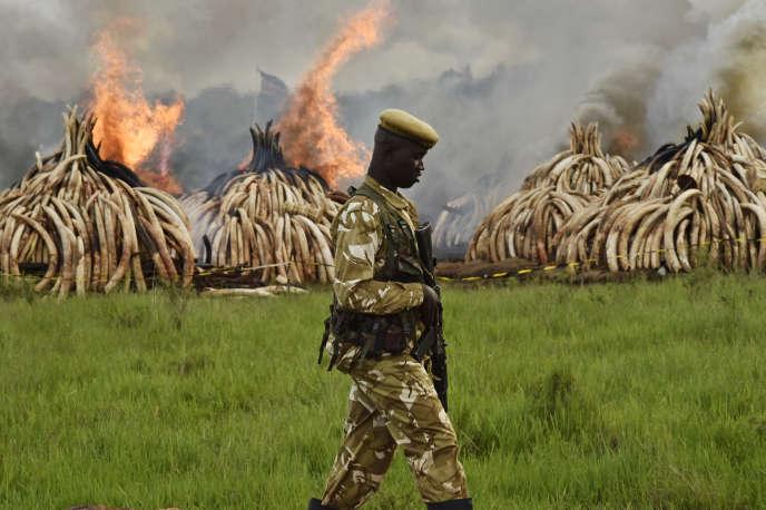 Destruction de stocks d'ivoire à Nairobi, au Kenya, en avril 2016.
