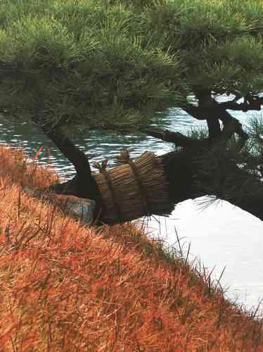 Les cordes tressées traditionnelles protègent, selon la tradition shinto, l'esprit qui habite l'arbre.