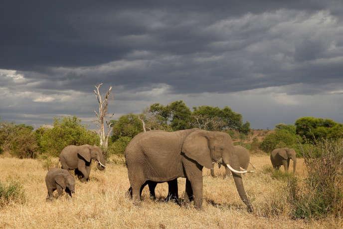 Une harde d'éléphants dans la réserve Grumeti, près du parc national du Serengeti, en Tanzanie, en octobre 2018.