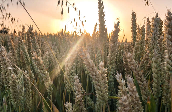 Un champ de blé à Locon, près de Lille, le 29 juin alors qu'un épisode caniculaire s'abattait sur la France.