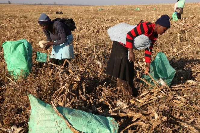 Des ouvrières agricoles dans des champs de maïs, près de Chinhoyi (Zimbabwe), en juillet 2017.