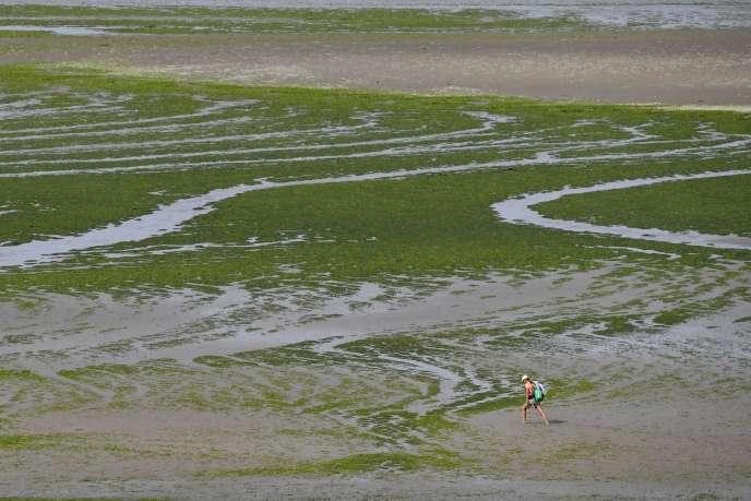 Les algues vertes, apparues il y a un demi-siècle, ont couvert jusqu'à 4 100 hectares en 2008 en Bretagne – ici, le 10 juillet à Hillion, dans les Côtes-d'Armor.