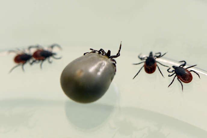 La maladie de Lyme, principale maladie humaine liée aux tiques dans.