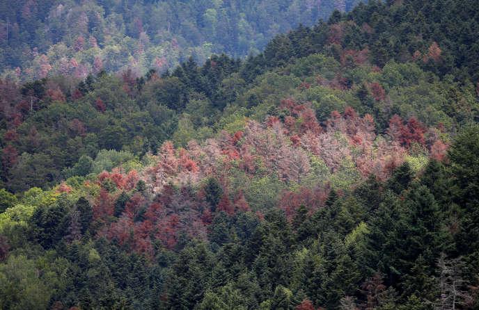 Ces pins rouges de la forêt de Masevaux, dans le Haut-Rhin, sont morts des multiples sécheresses provoquées par le réchauffement climatique.