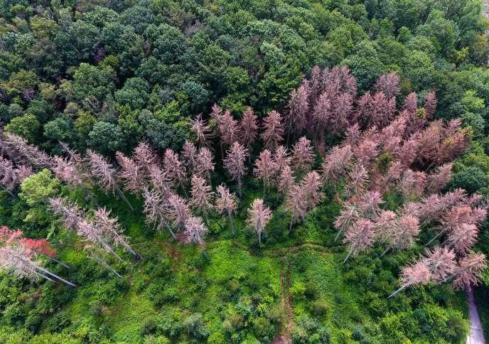 Des résineux desséchés, dans une forêt de Menden, à l'ouest de l'Allemagne, le 22juillet .