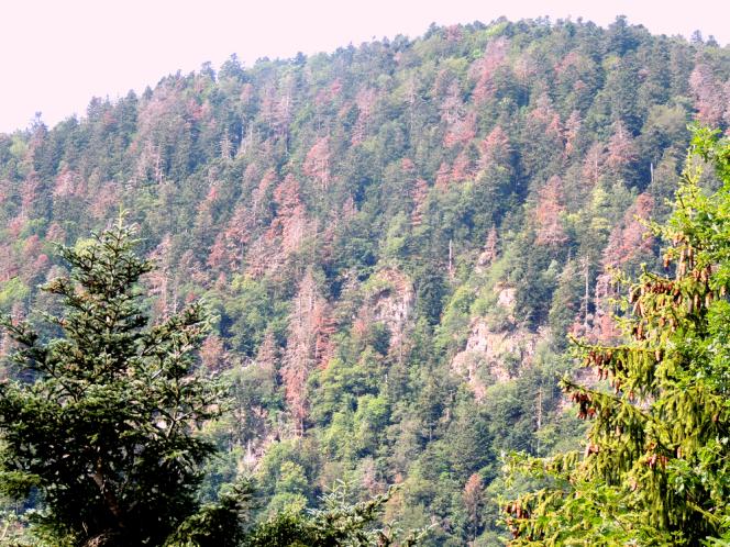 A Sewen, à une demi-heure de la forêt de Masevaux (Haut-Rhin), de nombreux pins sont morts sur pied.