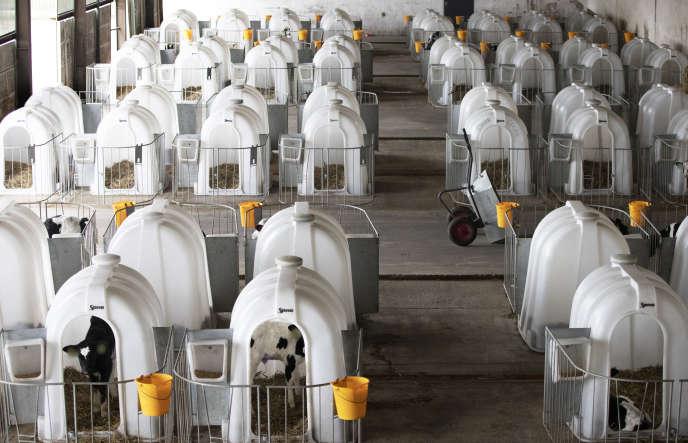 Elevage de veaux laitiers en Pologne.