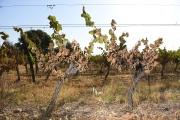 La canicule de fin juin a brûlé des vignes dans le sud de la France, comme ici à Sussargues, près de Montpellier, le 30 juin.