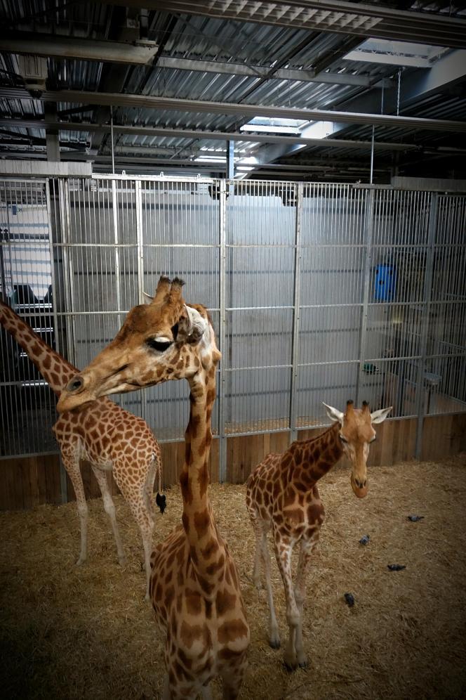 Des girafes âgées se reposent dans un enclos couvert et frais, au zoo de Vincennes, le 23 juillet.