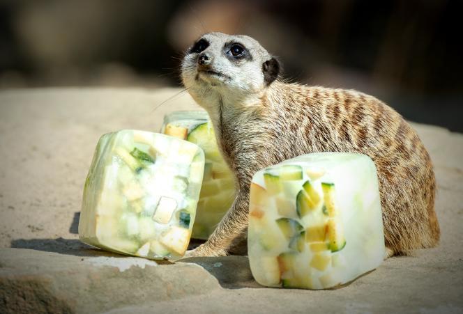 Un suricate entouré de glaçons aux fruits, à Hanovre, le 26 juin.