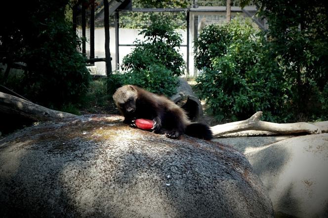 Un glouton se rafraîchit avec un glaçon, au zoo de Vincennes, le 23 juillet.