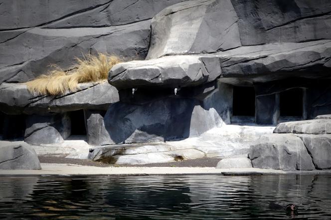 Les brumisateurs peinent à convaincre les manchots, qui préfèrent se baigner dans leur bassin.