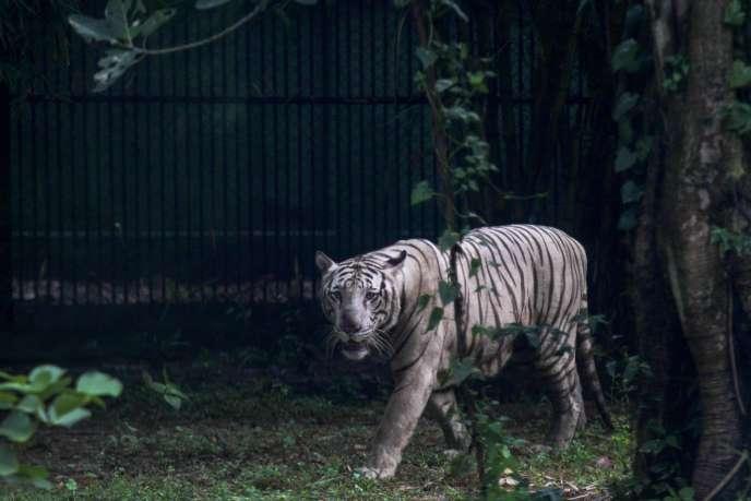 Un tigre dans le zoo de Calcutta, en Inde.