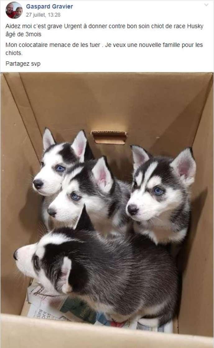 Attention arnaque ! Des bébés Huskies à donner sur Facebook !