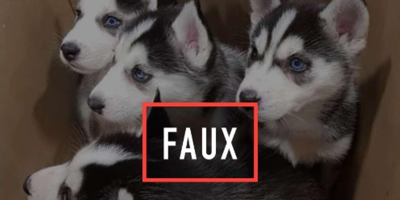 Sur Facebook L Arnaque Des Bebes Chiens Huskies A Donner