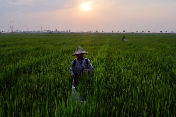 Dans une rizière à Naypyidaw (Birmanie), le 18 avril.