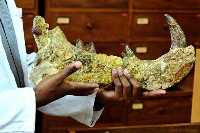 Le paléontologue Job Kibii, du Musée national de Nairobi, présente un morceau de mâchoire de«Simbakubwa kutokaafrika», un gigantesque lion préhistorique, le 23mai 2019.