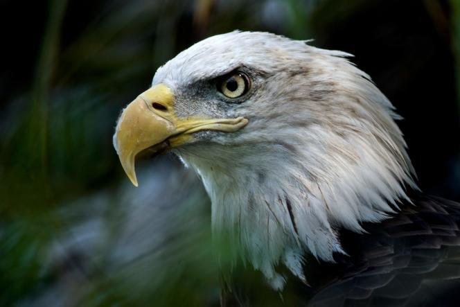Un aigle à tête blanche, espèce en voie de disparition menacé par la politique de Donald Trump, est observé le long de l'American Trail au Smithsonian National Zoo à Washington, le 11 août 2016.