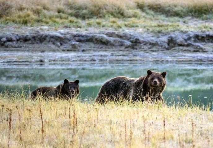 Le 8 octobre 2012, une femelle grizzli et son ourson, une espèce en voie de disparition, marchent près de Pelican Creek dans le parc national de Yellowstone, dans le Wyoming.