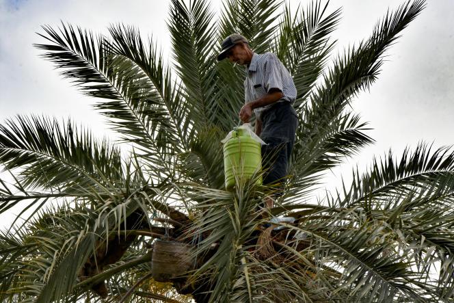 Un homme récolte la sève de palmier à Gabès, en Tunisie, le 18juillet 2019.