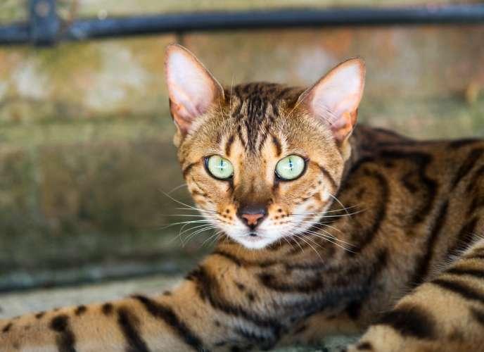 Les chats produisent un allergène dans leur salive et leurs glandes sébacées.