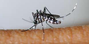 Un «Aedes albopictus».