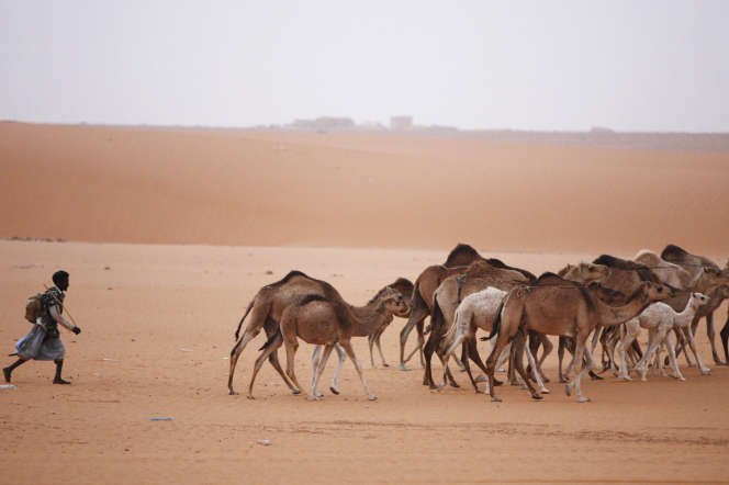 Un berger et ses dromadaires près de Chinguetti, en Mauritanie, en mars 2007.