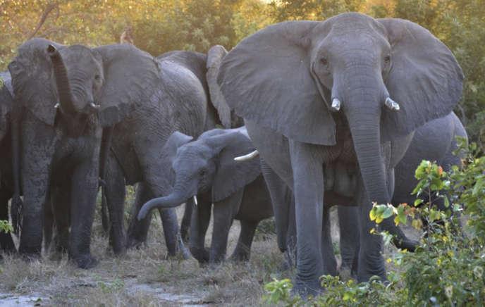 Une horde d'éléphants au Parc national Kruger, en Afrique du Sud.