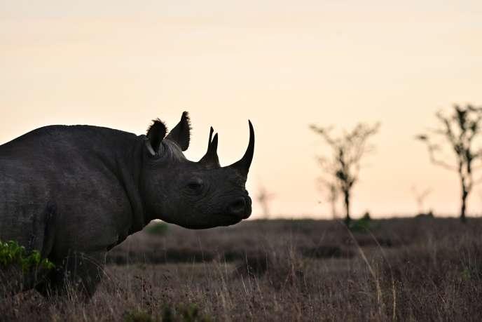 Un rhinocéros noir dans une réserve de Nanyuki, près du mont Kenya, en mai.