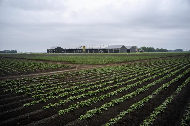 L'élevage des frères Erik et Marcel Weel, à Middenmeer, au nord d'Amsterdam, le 5 juin.