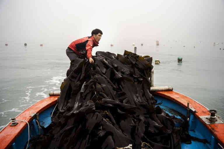 Culture d'algues sur corde. Shin Yeon-ju ramasse des dashimas près de Wando (Corée du Sud), le 22 juillet. La récolte se fait au printemps, mais il reste encore, en juillet, quelques grandes algues brunes qui flottent sous la surface de l'eau.