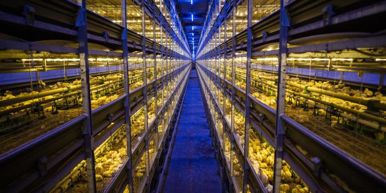 MIDDENMEER, PAYS BAS. JUIN 2019. Les frères Erik et Marcel Weel élèvent 320 000 poulets de chair dans deux larges bâtiments de 125 mètres de long et 27 mètres de largeur. Dans chaque bâtiment, trois rangées de six niveaux sur lesquels grandissent les oiseaux arrivés dans la ferme avant leur éclosion de l'oeuf. Les poussins ont cinq jours. Environ 20 % d'entre eux seront abattus à l'âge de 32 jours (pour un poids de 2 kilos), le reste à 36 jours (pour un poids de 2,4 - 2,6 kilogrammes). Dans ces bâtiments, pas d'éclairage naturel mais un éclairage led qui reproduit les cycles nuit/jour. La lumière bleue sert à apaiser les volailles.