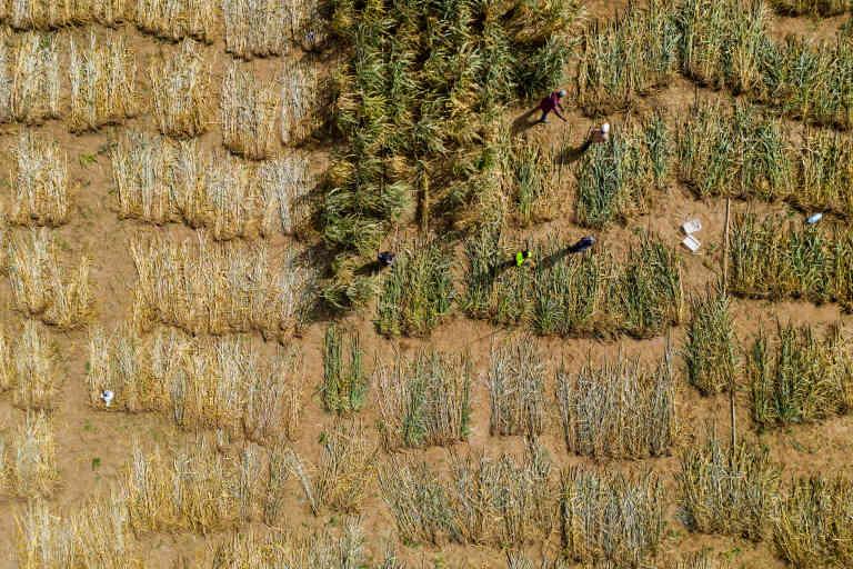 BAMBEY, SENEGAL. JUILLET 2019. Un champ expérimental de mil du Centre national de recherches agronomiques (CNRA), une station de l'Institut national de recherche agricole (ISRA). Des paysans employés par le CNRA récoltent le mil arrivé à maturité. Après la récolte, les semences sont séchées, analysées, conditionnées, puis multipliées par des paysans disposant d'un agrément d'Etat, certifiées et enfin mises sur le marché.