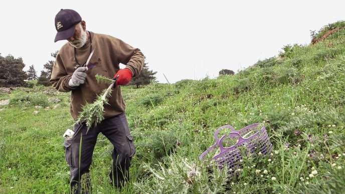 Malgré l'interdiction, Samir Naamneh a cueilli, ce printemps encore, des cardons, sur le plateau du Golan.