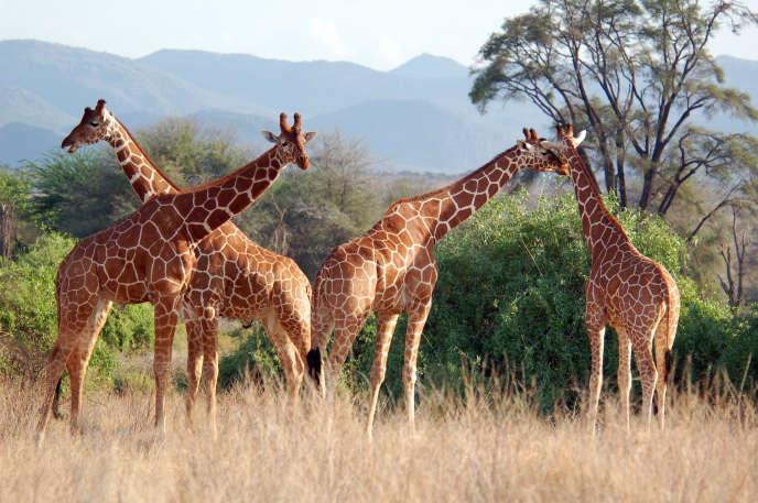 Les girafes, ici au Kenya, ont vu leurs effectifs chuter de près de 40 % au cours des trois dernières décennies.