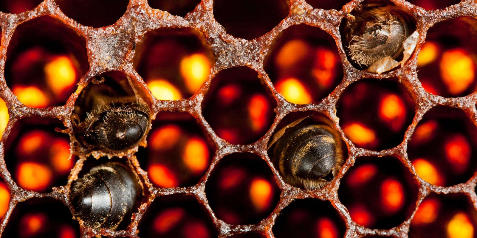 Abeilles mortes dans un cadre de ruche.