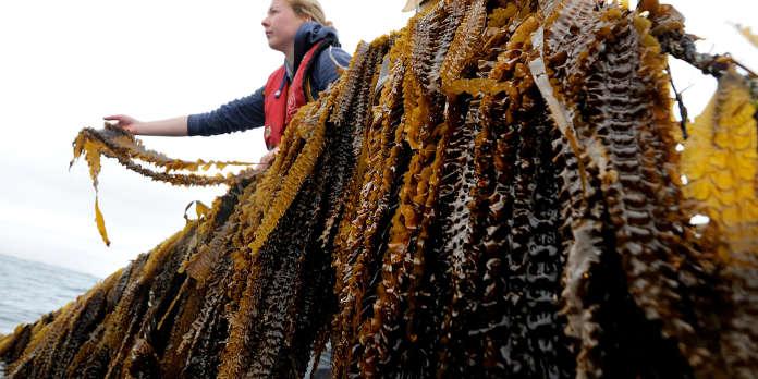 La France se convertit très lentement aux algues alimentaires