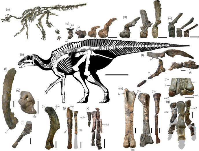 Les chercheurs de l'université de Hokkaido ont pu reconstituer un squelette presque entier d'une longueur de 8m.