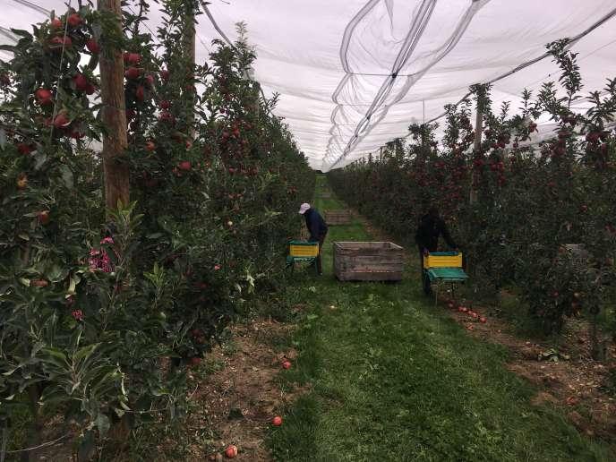 Dans un verger près de Château-du-Loir (Sarthe), premier jour de cueillette pour un groupe de 25 migrants, le 5 septembre.