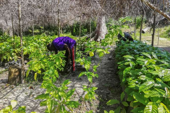 Dans une jeune cacaoyère près de Libreville, en juin 2019.
