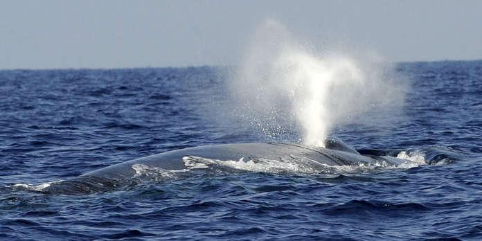 Pourquoi le chant des baleines bleues devient-il de plus en plus grave ?
